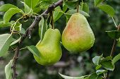 Pears On A Branch.