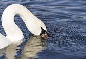 Mute swan blowing bubbles