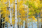 Yellow Aspen Trees