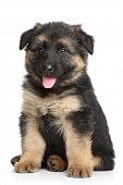 stock photo of hairy tongue  - German shepherd puppy  - JPG