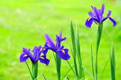 picture of indigo  - three indigo blue dutch iris flowers on green background - JPG