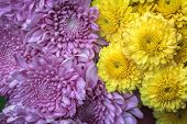 Bouquet  Purple And Yellow Chrysanthemum As Background