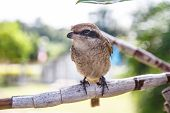 Brown Shike Bird
