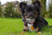 stock photo of chiwawa  - A small black long - JPG