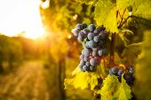 foto of horticulture  - Grape in the vineyard. Shallow depth of field.