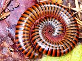 stock photo of millipede  - The grace millipede  on the  ground in wood - JPG