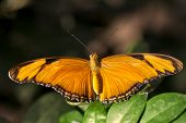 foto of flambeau  - A macro shot of a Julia Butterfly  - JPG