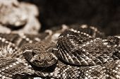 picture of western diamondback rattlesnake  - A closeup shot of a Western Diamondback Rattlesnake  - JPG