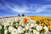 The picture was taken Fisheye lens. Huge fields of blossoming garden buttercups (Ranunculus asiaticus).  The wonderful spring weather, light cirrus clouds flying across a blue sky