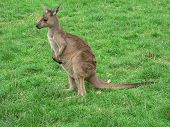 stock photo of tammar wallaby  - joey kangaroo in a paddock - JPG