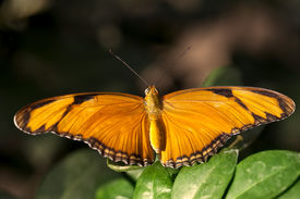 pic of flambeau  - A macro shot of a Julia Butterfly  - JPG