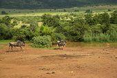 Blue Wildebeest walking towards the waterhole