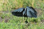 Black Egret Entering Classic Umbrella Hunting Position