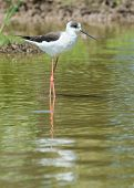 Black-winged Stilt Standing In A Pond