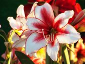 Beautiful Red White Lily