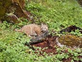 pic of bobcat  - Pretty young bobcat crouching in the brush - JPG