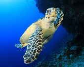 stock photo of hawksbill turtle  - Hawksbill Sea Turtle underwater - JPG