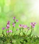 oxalis  flowers background