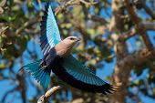 Blue-bellied Roller In Flight