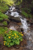 Yellow flowers Caltha palustris in a mountain stream. Forest landscape with a bush of flowers and a