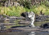 image of wolf-dog  - Timber wolf or gray wolf hunting for prey along waters edge - JPG