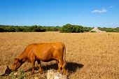 Menorca brown cow grazing in golden field near Ciutadella at Balearic islands