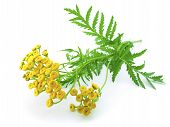 Yellow Flowers And Green Leaves Of Tansy Isolated On A White Background Close-up.