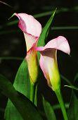 Pink Calla Lily (zantedeschia Rehmannii)
