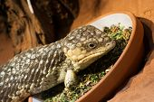 stock photo of terrarium  - Bobtail lizard  - JPG