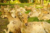 Brow-antlered Deers