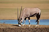 Gemsbok antelope (Oryx gazella) at a waterhole, Kalahari desert, South Africa