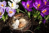 Easter Nest With Eggs With Crocuses