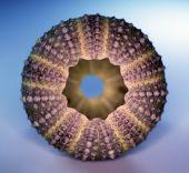 Sea-urchin Symmetry