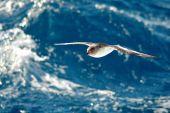 Antarctic Petrel