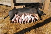 Newborn Piglets