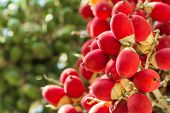 stock photo of raja  - close up ripen fruit of lipstick palm or sealing - JPG