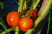 foto of threesome  - threesome of red tomatoes on the plant - JPG