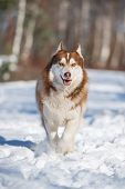 pic of husky sled dog breeds  - brown siberian husky dog in the snow