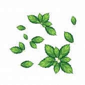 Set Of Thai Basil Leaves On White Background