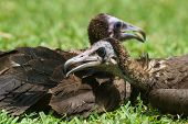 A Hooded Vulture Preening Its Neighbour