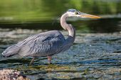 picture of low-necked  - Great Blue Heron fishing in the low lake waters - JPG