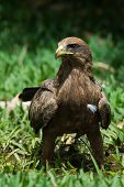 Black Kite (milvus Migrans) Standing In Grass