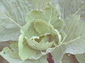 Fresh Cabbage In Vintage Style
