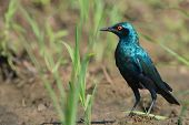 A Greater Blue-eared Glossy Starling (lamprotornis Chalybaeus) Standing On A Muddy Field