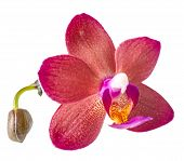Beautiful Dark Red With Bud Orchid, Phalaenopsis Is Isolated On White Background, Closeup