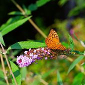 pic of butterfly-bush  - Butterfly Boloria Bellona leaning over Butterfly Bush - JPG