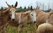 stock photo of wild donkey  - A pair of donkeys in the flock - JPG