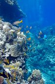 coral reef with porites corals and goatfishes at the bottom of tropical sea on blue water background