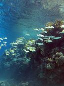 coral reef with shoal of goatfishes and hard corals at the bottom of tropical sea on blue water back