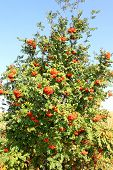 foto of rowan berry  - The orange berries on the rowan tree - JPG
